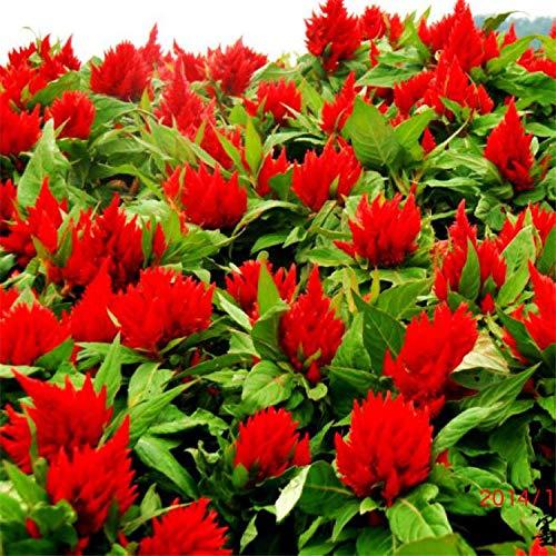 Eastbride Plantes ornementales,Cockscomb Cockscomb Seeds, Chicken Head Spike Flaming Flower Seeds-200 Capsules,Graine parfumée Vivace