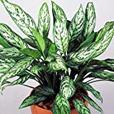 Premium Aglaonema Maria Christina | Chinese Evergreen Plant | 25-35cm Potted