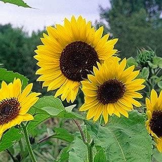 Non GMO Bulk Mammoth Grey Stripe Sunflower Seeds- Helianthus annuus 760 Seeds (1/4 Lb)