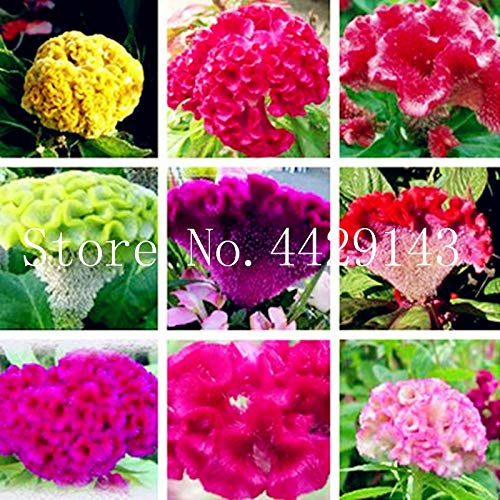 prime vista 100 Stück Mischfarbe Cockscomb Bonsai, Celosia Spicata Pflanze, Bonsai Blume Pflanze Reine blaue Cockscomb Baum Topf für Hausgarten: gemischt