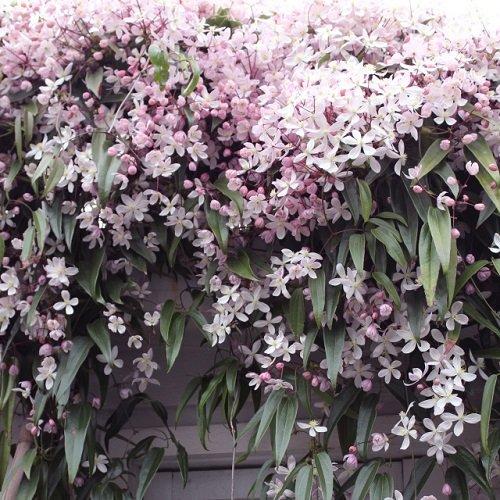 3 x Clematis armandii Apple Blossom (Immergrün und Winterhart) - Mehrjärige Immergrüne Kletterpflanzen: 3 kaufen/ 2 bezahlen - 1,5 Liter Topfen - ClematisOnline Kletterpflanzen