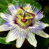 3 x passiflora | acquista 3 / paga 2 - fiore della passione (pianta sempreverde) - 3 vasi da 1,5 litri (pianta rampicante - pianta adulta) - pergola, balconi e terrazze | clematisonline