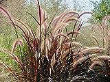 Lampenputzergras - Pennisetum Setaceum Summer Samba - 40-50cm Topf 2Ltr.