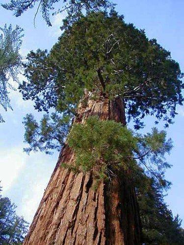Sequoiadendron giganteum - Riesenmammutbaum - 20 Samen