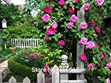 100 Rose Zephirine Drouhin Samen Bourbon Erbstück Pink Rose Climber Climbing-Rosen-Samen Bonsai Blumen und Gartenpflanzen Samen