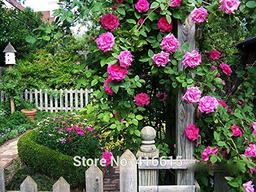 100 Rose Zephirine Drouhin Graines Bourbon Heirloom Pink Rose Grimpeur Escalade Rose Graines Bonsai Fleurs et Jardins Plantes Graines