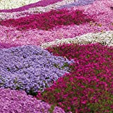 Drought Tolerant Creeping Phlox Perennial Ground Cover Garden Plant with Bright Flowers in Spring, Easy to Grow Collection 5 x Plug Plants by Thompson and Morgan