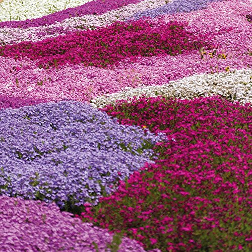 Drought Tolerant Creeping Phlox Perennial Ground Cover Garden Plant with Bright Flowers in Spring,...