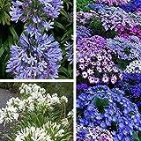 vegherb A4: 50 / Paquet Graines Livraison Gratuite, Agapanthe Africanus Seeds, Belle, Jardin Fleur, Facile d'entretien et résistant à la sécheresse