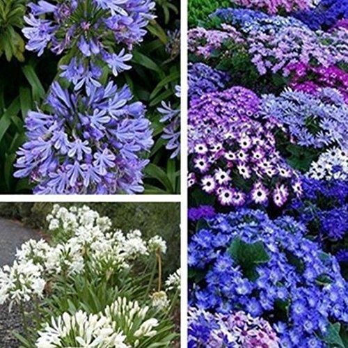 50 graines / pack Livraison gratuite, Graines Agapanthus Africanus, Belle, jardin de fleurs, soins facile et tolérant à la sécheresse