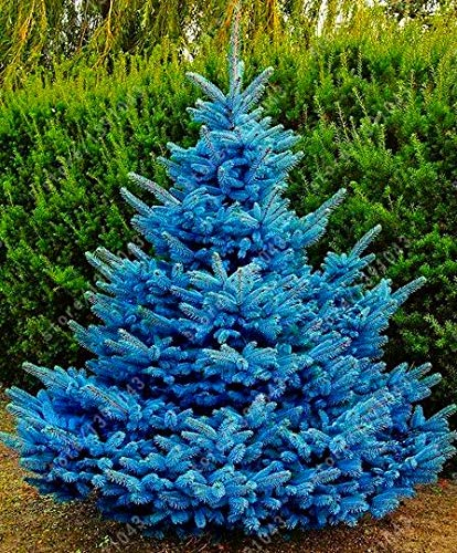 AGROBITS 30 pcs/Bag Blue Spruce Trees, Bonsai Blue Spruce Seeds, Picea Pungens Seeds Evergreen Ornamental Potted Tree for Home Garden