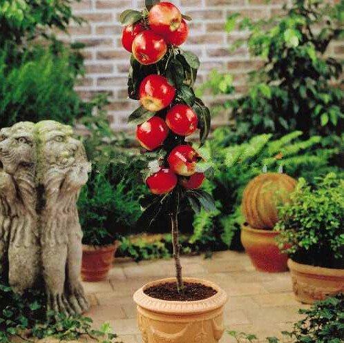 bonsaï nain 50 graines cueillir des fruits délicieux dans votre jardin facile -growing Bonsai FruitFree Livraison 7