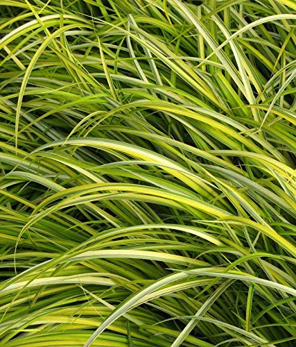 """OGON"" Golden Variegated Sweet Flag - Acorus gramineus - 8 Single Plants"