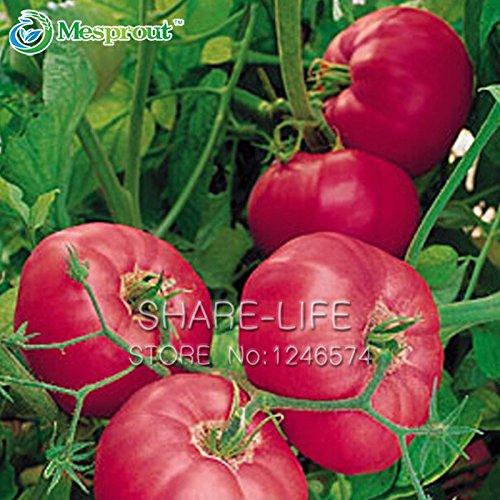 Rare Graines Big Fruit Tomate, Graines Balcon Fruits semences Légumes en pot Bonsai pot Plant de tomate 100 graines / Paquet