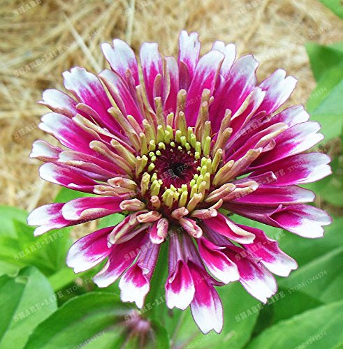 100PCS Zinnia Graines rares Variété chaleur Tolerant Jardin Fleur Plantes à fleurs en pot Charme chinois Fleurs Graines culture facile 9