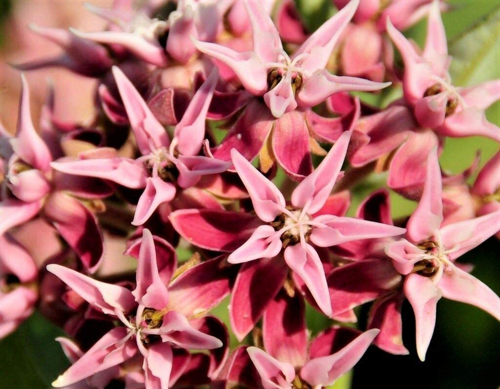 NP - 50 Showy Milkweed Asclepias Seeds Speciosa Max 59% OFF Flower trust LUC D