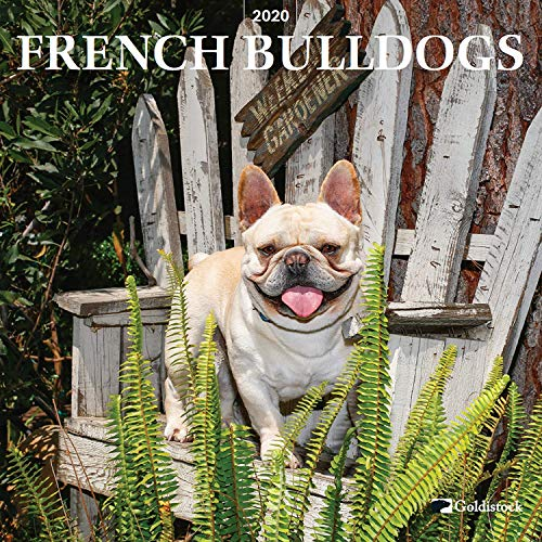 Goldistock 2020 Large Wall Calendar -'French Bulldogs' - 12' x 24' (Open) - Thick & Sturdy Paper - - Jokester with a Sense of Humor and Very Affectionate Dogs