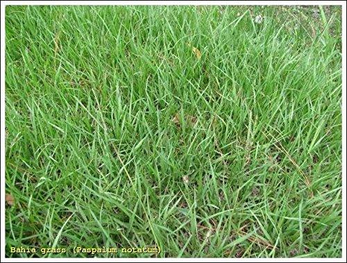 SeedRanch Pensacola Bahia Grass Seed - 50 Lbs.