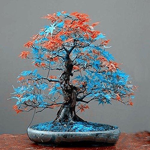 Classique 10 couleurs différentes japonaises graines d'érable mini-graines bonsaï bonsaï graines d'arbres Maple Graines jardin bonsaï 10 PCS