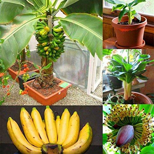 Qulista Samenhaus – Raritäten BIO Banane Bonsai schnellwachsend Obst Saatgut mehrjährig winterhart Exotik für Terrasse und Balkon - 6