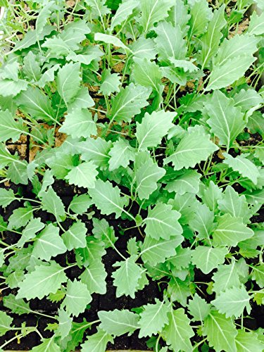 Kohlrabi weiß, Kohlrabi im 10er Pack, Gemüse Pflanzen