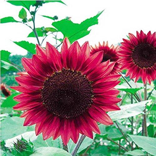 Semences de fleurs 50PC Mini arc graines de tournesol, rares vert, rose, graines de tournesol rouge, plantes ornementales bonsaï