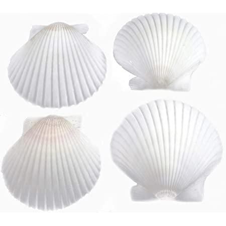 """FSG - 25 White Florida Scallop Shells (about 2"""") Seashells for Beach Wedding Decor and Ocean Crafts"""
