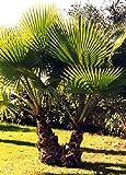 Tropica - Washingtonia Fächerpalme (Washingtonia...