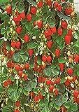 10+ Hanging Basket Strawberry Seeds