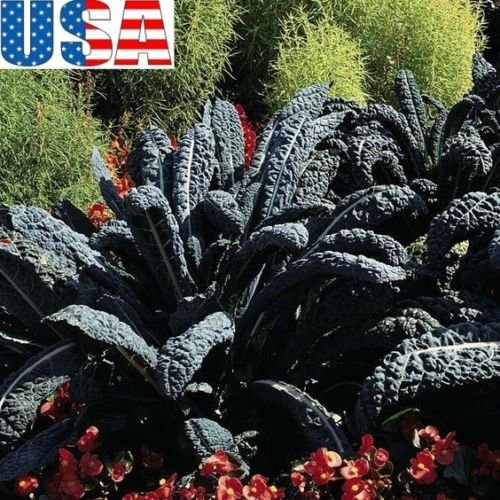 USA SELLER graines Black Magic Kale HEIRLOOM NON OGM