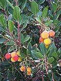 Westlicher Erdbeerbaum Arbutus unedo Pflanze 5-10cm...
