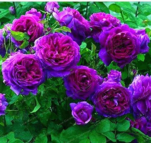 Ponak Neue 50 PC Kletterrose Blumensamen für schönen Garten Lila
