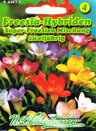 Freesia Hybriden Super Freesien Mischung zweijährig
