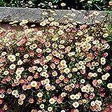 Semillas de margarita para jardín de jardín, 10/50/100 piezas de semillas de margarita de colores mixtos para jardín, patio, flores, balcón, decoración floral por ZHOUBA, 50 unidades.