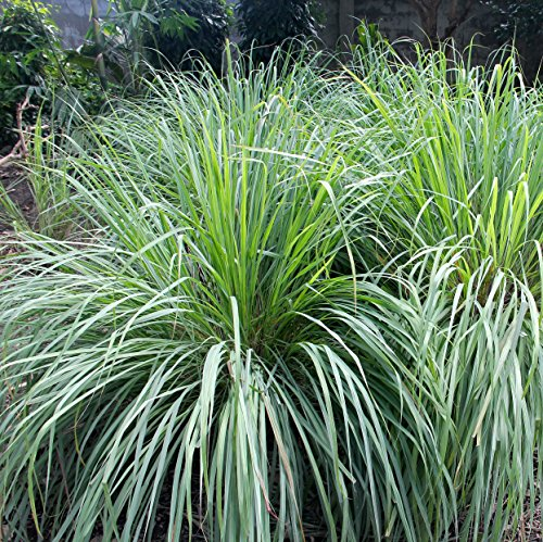 Outsidepride Lemon Grass Plant Seeds - 1000 Seeds