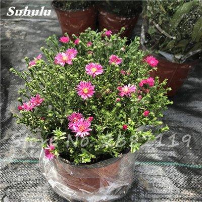 120 pcs graines graines de fleurs Daisy strawberry marguerite, fleurs de saison graines chrysanthème, Bonasi beau balcon fleuri coloré 18