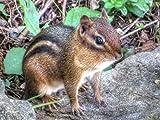 Chipmunks - Nature's Vacuum Cleaners