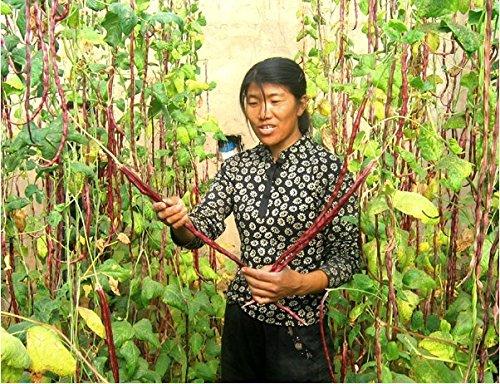 1 emballage d'origine végétale rare longues blanc / rouge motif dolique Seeds, 15g graines de haricots colorés spéciaux, longueur de haricot 70-80cm