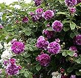 'Russeliana', Rambler-Rose im Rosen-Container