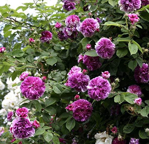 'Russeliana', Rambler-Rose in A-Qualität Wurzelware
