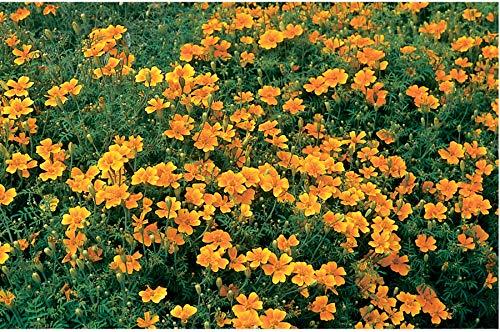 David's Garden Seeds Flower Marigold Tangerine Gem 5552 (Orange) 500 Non-GMO, Open Pollinated Seeds