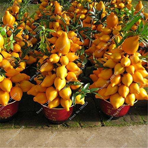 Bonsai sein Aubergine Seed Five Fingers Aubergine Arbre Graine Climbint Plante fruits délicieux légumes aliments riches en nutriments 100 Pcs