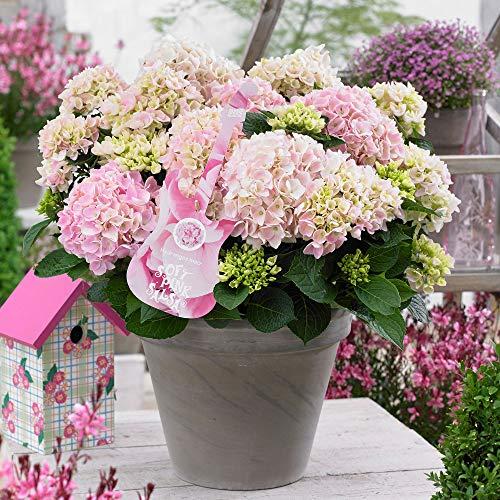"Hydrangea macrophylla | Music Collection®""Soft Pink Salsa"" | Rosa Hortensie | Winterfest | Höhe 25-35cm | Topf-Ø 23cm"