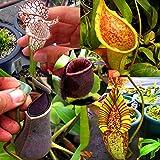 Harddo 50 stücke Nepenthes pflanzensamen, Nepenthes fleischfressende pflanze Essen Moskito Insekt Garten Blumen Bonsai