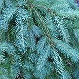 Blue Douglas Fir Seeds for Planting | 20+ Seeds | Grow Evergreen Trees