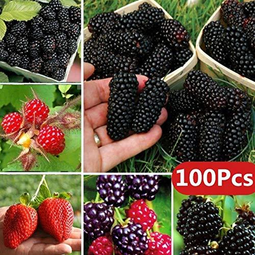 Feli546Bruce Himbeer- / Brombeer- / Erdbeer- / Kiwisamen, 100 Stück Seltene Himbeer- / Brombeer- / Erdbeer- / Kiwisamen Nahrhafte Früchte Bonsai Baum Brombeersamen