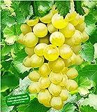 BALDUR Garten Kernlose Tafel-Trauben 'New York', 1 Pflanze, Weinreben, Vitis vinifera