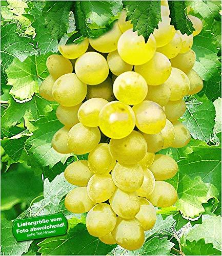 BALDUR Garten Kernlose Tafel-Trauben 'New York®', 1 Pflanze, Weinreben, Vitis vinifera