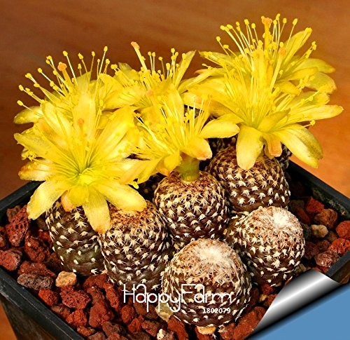 Best-Selling!10pcs/Lot cactus Rebutia variety flowering color cacti rare cactus seed office mini plant succulent,#M2PGRI
