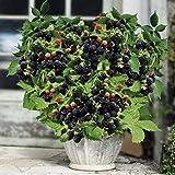 AIMADO Samen-100 Pcs Bio Zwerg-Brombeere Lowberry Garten Obstsamen Saatgut mehrjährig winterhart ideal für die Topfpflanzung